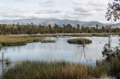Fotografie, Obraz  Ducks in a lake with marsh grass, and a background of trees and a mountain range at Otay Lakes County Park in Chula Vista, California