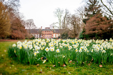 Tilt-shift Lens Over Daffodils...
