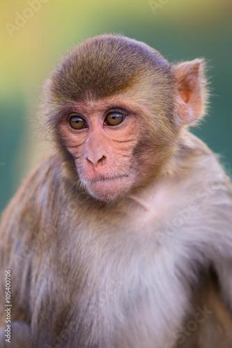 In de dag Portrait of Rhesus macaque (Macaca mulatta)
