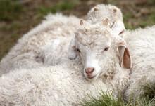 Baby Angora Goats Sitting Toge...