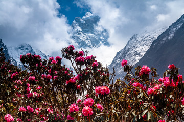 Obraz na Szkle Rapidly blossoming rhododendron against of mountains.