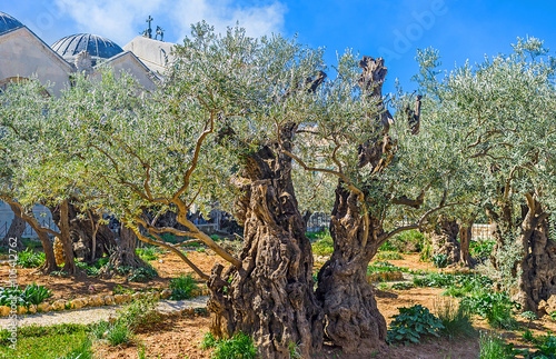 Poster Moyen-Orient The oldest olive trees