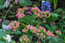 Pink Kalanchoe Flower