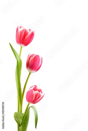 Poster Tulp Tulips on the white background.