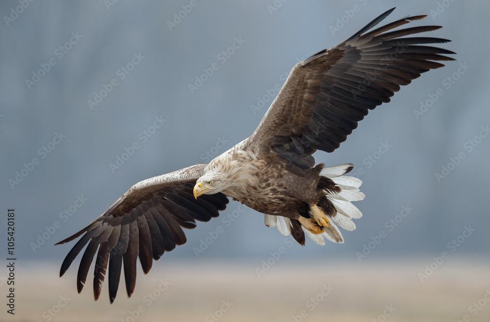 White tailed eagle