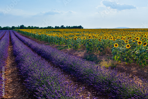 Papiers peints Aubergine Sunflowers and lavender, Provence, France