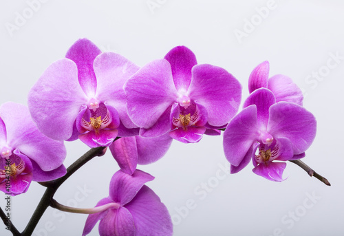 Tuinposter Orchidee Pink streaked orchid flower, isolated on white background
