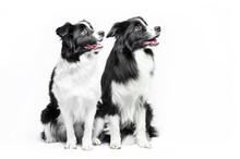 Two Border Collie Sitting On A White Background