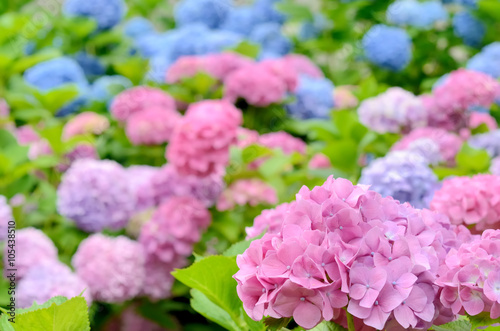 Printed kitchen splashbacks Purple 紫陽花の花畑