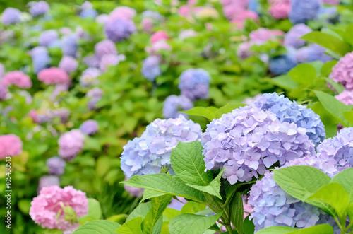 Foto auf Gartenposter Flieder 紫陽花の花畑