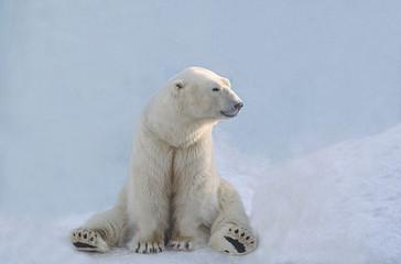 Fototapeta na wymiar Белый медведь сидит.