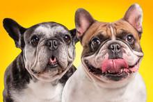 French Bulldogs Isolated Over Orange Background
