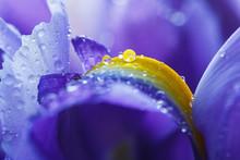 Purple Iris Petals With Water ...