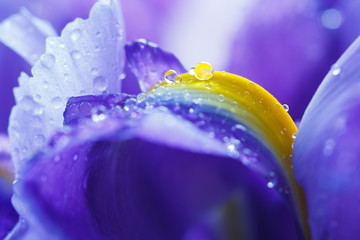 Panel Szklany Woda Krople Purple Iris petals with water droplets