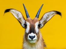 Roan Antelope Portrait On Yell...