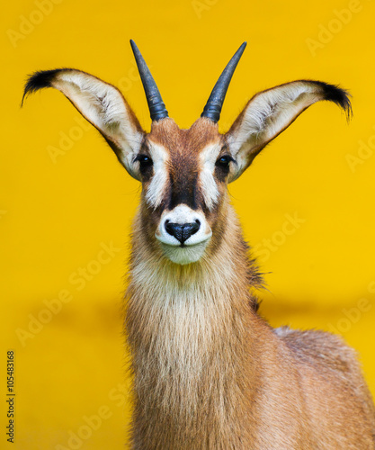 roan antelope on yellow background / Pferdeantilope Porträt Canvas Print