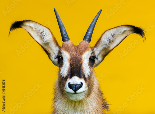 roan antelope portrait on yellow background / Pferdeantilope Porträt