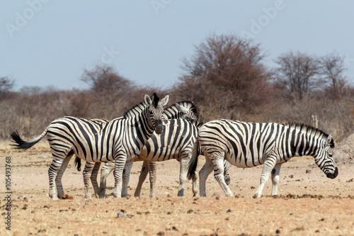 Fototapety, obrazy: Zebra in african bush