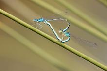 Blue Damselfly Mating Act. Heart Symbol