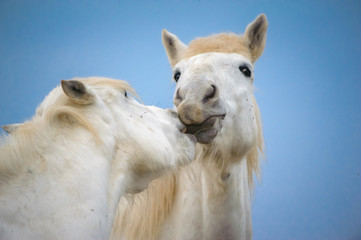 FototapetaTenderness between 2 white horse