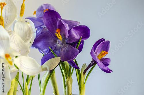 First Spring Flowers Beautiful Blooming Crocus Kaufen Sie Dieses