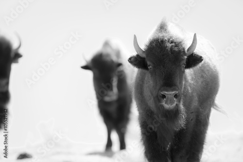 Canvas Prints Bison Buffalo (Bison) on the Plains of Colorado