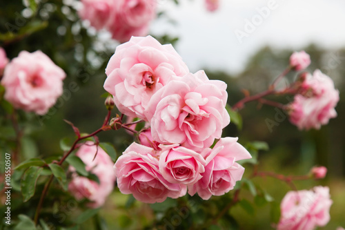 Foto  Background of bouquet of pink blooming rose bush