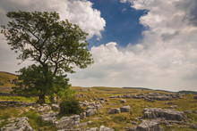 England. Yorkshire Dales. June 2010.A Solitary Tree On A Stretch Of Limestone Pavement In The Yorkshire Dales, England