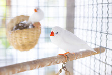 White Estrildid Finch In Cage