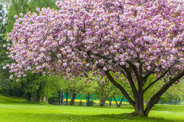 Fototapeta Drzewa Beautiful sakura tree in the park