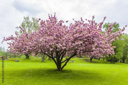 Beautiful sakura tree in the park Tapéta, Fotótapéta