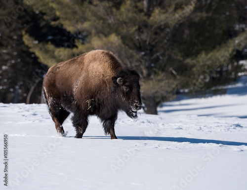Aluminium Prints Bison American Bison (Buffalo Meadow) in Winter