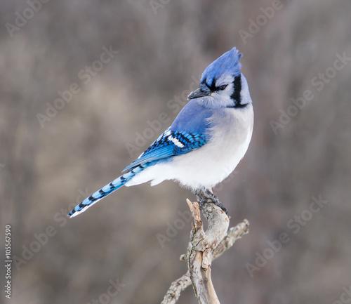 Stampa su Tela Blue Jay in Winter
