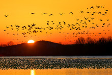 Snow Geese Flying At Sunrise