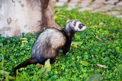 Valokuva  Cute Ferret Outdoors on Green Plants