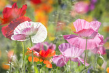 summer meadow with red poppies - 105592158