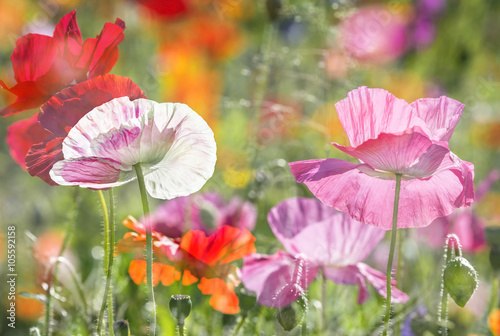 Fototapety, obrazy: summer meadow with red poppies