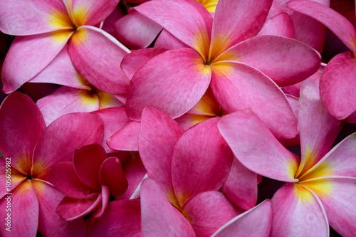 Keuken foto achterwand Frangipani Frangipani flowers pink Plumeria flower