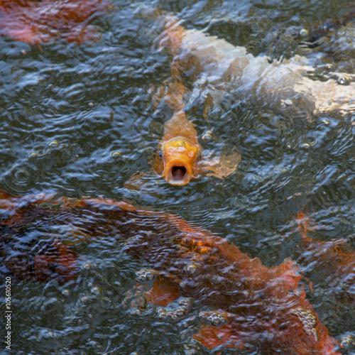 Fotografie, Obraz  One among a set. Red carp breathes.