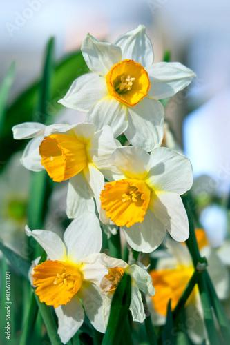 Foto op Aluminium Narcis japanese narcissus