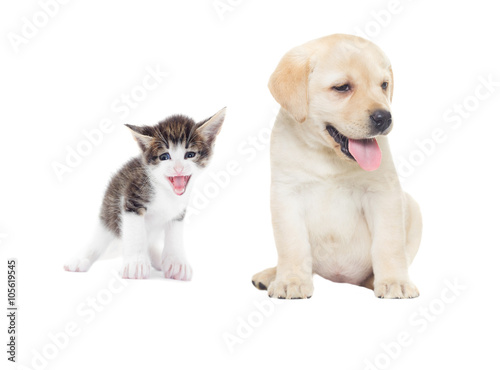 Poster Chien funny kitten and labrador puppy