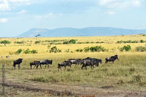 Tuinposter Koe Wildebeest in the savannah