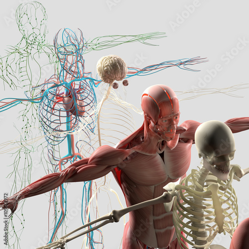 Fotografía  Human anatomy exploded view, deconstructed showing separate parts, muscles, organs, bones