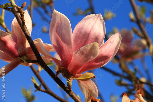 Pink magnolia flowers with blue sky