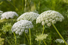 Wild Carrot Flowers In Bloom