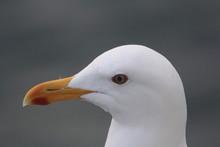 Seagull Eye