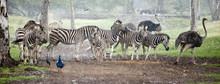 Zebra Herd In The Pouring Rain