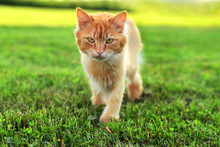 Fluffy Ginger Cat Sneaks Up Across The Lawn