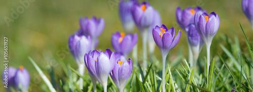 Spoed Foto op Canvas Krokussen Blühende Krokusse im Frühling