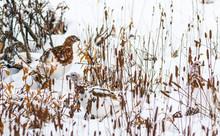 Willow Ptarmigan In Denali National Park